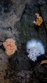 Fungi infected by mould