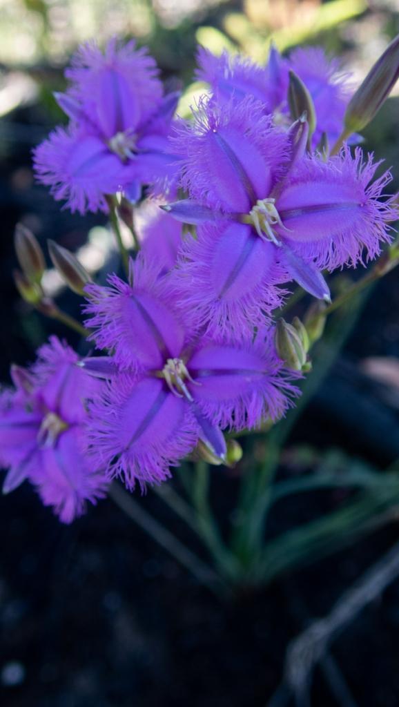 fringed lilu