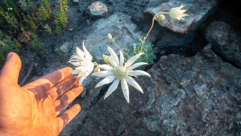Biggest flannel flower I've seen